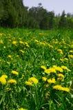 Dandelion lawn. Yellow dandelion on the lawn Stock Photography
