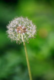 The dandelion Royalty Free Stock Images