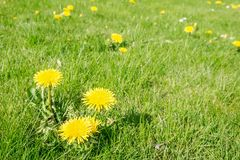 Dandelion in lawn Stock Photos