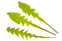 Dandelion leaf. Hawkbit dandelion leaf isolated over white background stock image