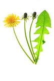 Dandelion. Leaf. buds and a single flower of dandelion (Taraxacum officinale), isolated in front of white background Stock Photo