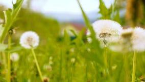 Dandelion with leaf slowmotion stock footage