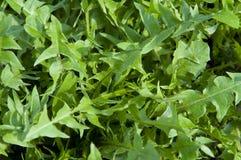 Dandelion leaves Stock Photos
