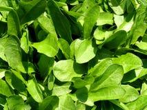 Dandelion leaves Stock Photography