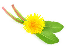 Dandelion leaves with a flower Stock Photos