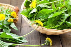 Dandelion leaves royalty free stock images