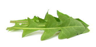 Dandelion leaves salad. The common name Dandelion is given to species of the genus Taraxacum, a large genus of flowering plants in the family Asteraceae Stock Photography