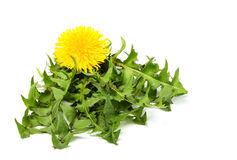 Dandelion leaves together with the flower. stock image