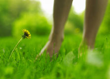 Dandelion and legs (soft light effect) Stock Photos