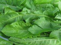 Dandelion liść folująca rama Zdjęcie Stock