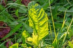 Dandelion liść iluminuje słońcem w wysokiej trawie obraz royalty free
