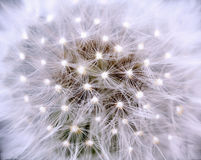 Dandelion with light. Dandelion, macro, with light in the seeds royalty free stock images