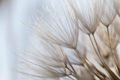 Dandelion, light, field, lots of light, meadow, sun. day, macro, texture, detail, plant, beauty Stock Photography