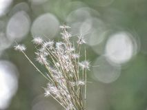 Dandelion like structures in a blurred background. A picture of a plant with dandelion like structuresdepicted in a blurred gray/green background Royalty Free Stock Image