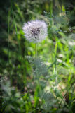 Dandelion lit by the sun growing in the grass Stock Photography