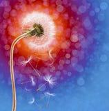 Dandelion on the long stem at sunset. On defocused background Stock Photos