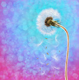 Dandelion on the long stem at sunset Stock Photo