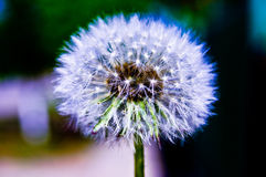 Dandelion. Look at a dandelion from a short distance Stock Photos