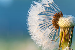 Dandelion loosing seeds with rays of sunlight. Outdoors closeup. Stock Images