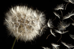 Dandelion Loosing Seeds in the Wind. BLACK BACKGROUND Stock Photography