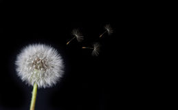 Dandelion Loosing Seeds in the Wind Stock Images