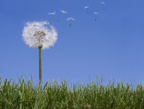 Dandelion Losing Seeds Stock Image
