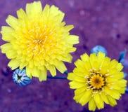dandelion lubi scalebud słonecznikowy Zdjęcie Stock