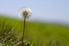 Dandelion of Luck. A lone Dandelion waits to have it's hair blown royalty free stock photos