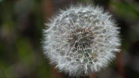 Dandelion. Lush white head of a dandelion. stock photography