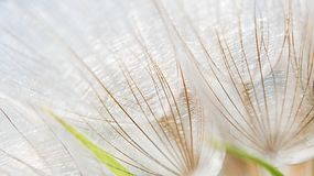 Dandelion macro. Stock Photo