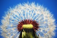 dandelion macro zdjęcie royalty free