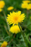 Dandelion macro. A macro shot of a blooming dandelion sharp in the foreground, with other dandelions in the background royalty free stock image
