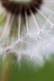 dandelion macro Zdjęcie Stock