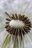 Dandelion Macro Royalty Free Stock Photography