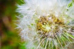 dandelion macro Fotografia Stock