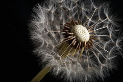 Dandelion macro Stock Photo