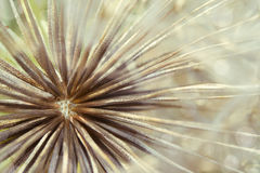 Free Dandelion Macro Royalty Free Stock Photos - 32007698