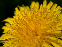 Dandelion macro Royalty Free Stock Images