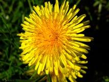 Dandelion macro. Dandelion close-up Stock Photo