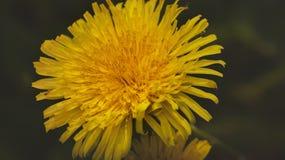 dandelion macro Fotografia Royalty Free