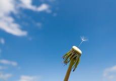 Dandelion macro against the blue sky Stock Image