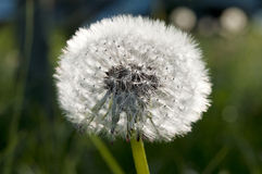 Dandelion macro in backlight royalty free stock photos