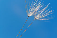 Dandelion macro and blue sky Stock Images