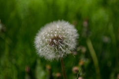 Dandelion. Macro of a centered, dried Dandelion on a colorful green background with a bouquet effect Royalty Free Stock Image