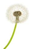 Dandelion macro close-up. Dandelion macro isolated on white background royalty free stock photography