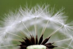 Dandelion, macro Royalty Free Stock Photography