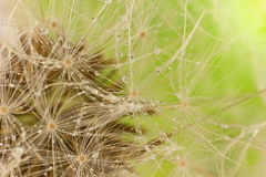 Dandelion (macro) with drop dew Royalty Free Stock Photography
