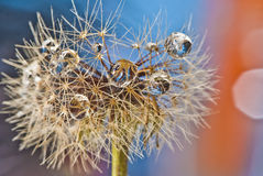 Dandelion macro Royalty Free Stock Image