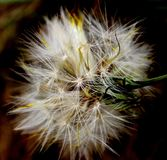 Dandelion. Macro of a Dandelion fall Stock Images