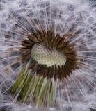 Dandelion,macro Royalty Free Stock Photos